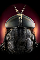 Macro photograph of a horse fly